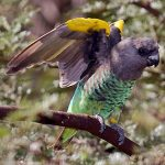 Мейеров длиннокрылый попугай - описание вида
