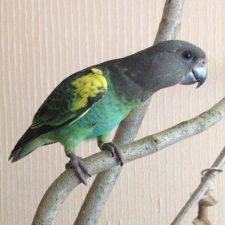 Мейеров длиннокрылый попугай - уход