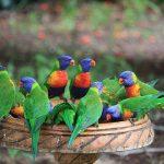 Многоцветный попугай лорикет - контактная порода