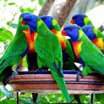 Многоцветный попугай лорикет - содержание