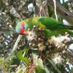 Мускусные лорикеты - небольшие попугаи