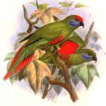 Новогвинейские горные лори - домашние попугаи