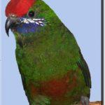 Новогвинейские горные лори - дружелюбная порода