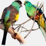 Плоскохвостый попугай - уход