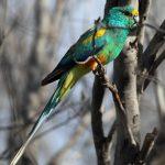 Плоскохвостый попугай - яркий вид