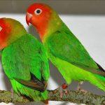 Попугаи неразлучники - особенности вида