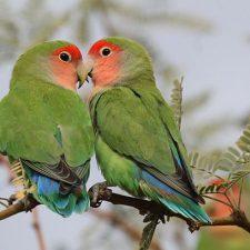 Попугаи неразлучники - уход