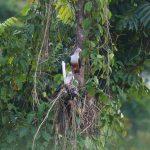 Попугай Жоффруа - особенности вида