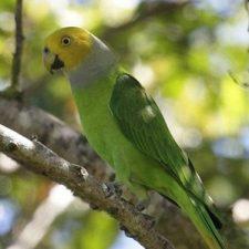 Попугай Жоффруа - спокойный вид