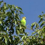 Попугай Жоффруа - теплолюбивый вид