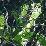Попугай Жоффруа - тихий вид