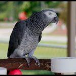 Попугай жако - общительный вид