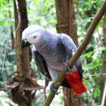 Попугай жако - описание вида