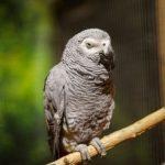 Попугай жако - содержание