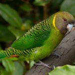 Ленточный попугай - дикий вид