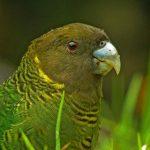 Ленточный попугай - особенности вида