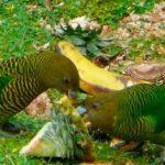 Ленточный попугай - погибает в неволе