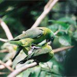 Ракетохвостый попугай - экзотический вид