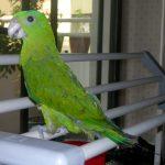 Ракетохвостый попугай - исчезающий вид