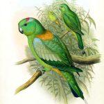 Ракетохвостый попугай - описание вида