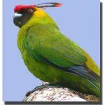 Рогатые попугаи - описание вида