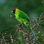 Рогатые попугаи - особенности вида