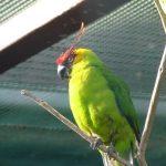 Рогатые попугаи - содержание