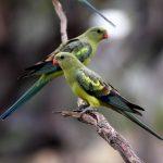 Роскошный попугай - древний вид