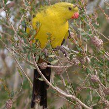 Роскошный попугай - описание вида