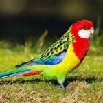 Розелла - декоративный попугай