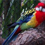 Розелла - дружелюбный попугай