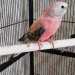 Розовобрюхий травяной попугай - описание вида