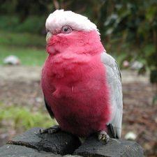 Розовый какаду гала - дружелюбная порода