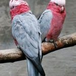 Розовый какаду гала - спокойная порода