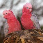 Розовый какаду гала - уход