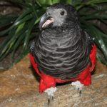 Щетиноголовые попугаи - дорогой вид