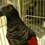 Щетиноголовые попугаи - описание вида