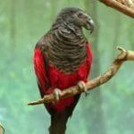 Щетиноголовые попугаи - особенности вида