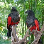Щетиноголовые попугаи - редкий вид