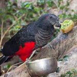 Щетиноголовые попугаи - шумный вид