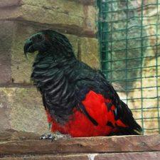 Щетиноголовые попугаи - содержание