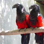 Щетиноголовые попугаи - уход