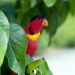 Широкохвостый лори - активный попугай