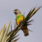 Сенегальский длиннокрылый попугай - доброжелательный вид