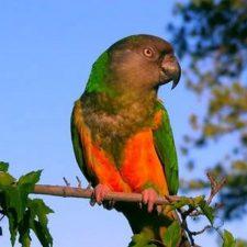 Сенегальский длиннокрылый попугай - любопытный вид