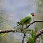 Синегузый попугай - содержание