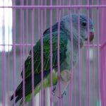 Синегузый попугай - яркий вид