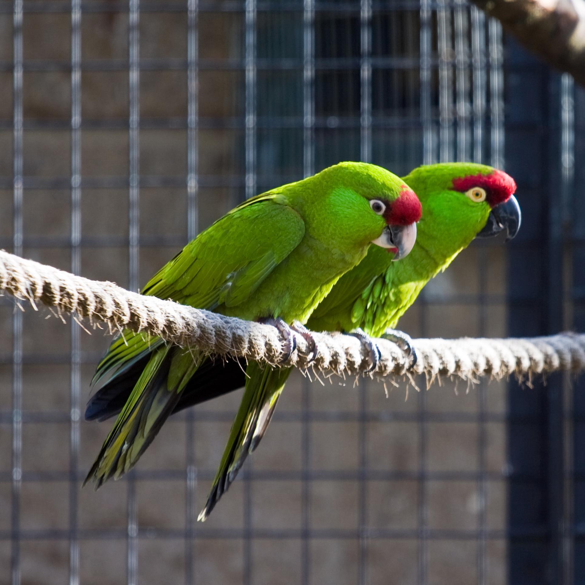 виды попугаев картинки куллинан