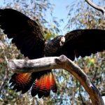Траурный какаду - особенности вида