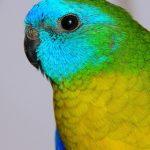 Травяной попугай - домашний вид